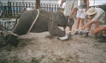 training a baby elephant for the circus